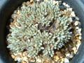 Avonia quinaria ssp. alstonii (ex: Anacampseros alstonii)