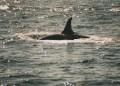Orca 005