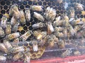The Single Queen Honey Bee is in the Middle.  Can you find her?