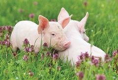 France - PIG NA