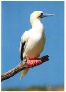 Midway - RED-FOOTED BOOBIE NB