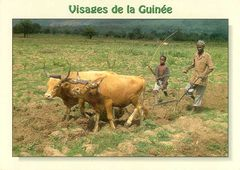 Guinean Rep - Plowing Fields NT