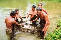 Bangladesh - Fishing with cast a net NT