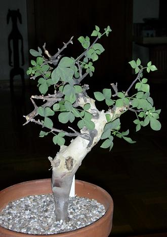 Commiphora kataf  -ES4017 Arabia & East Africa