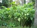 Brugmansia sp