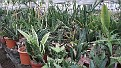 2. Sansevieria collectie