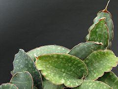 Sansevieria sp. Mbeya Prov. 4