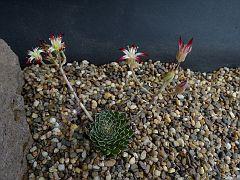 Graptopetalum fillifereum