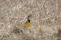 Eastern Meadowlark #7