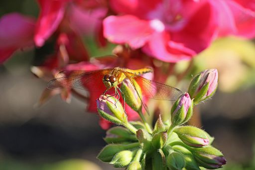 Bandwinged Meadowhawk #7