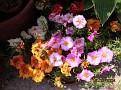 Portulaca grandiflora
