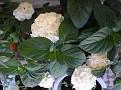 hydrangea hortensis