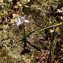 Moraea mediterranea, syn  Gynandriris monophylla (12)