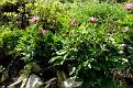 Paeonia mascula subsp  mascula (39)