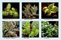 Crassulaceae  (11)
