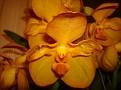Vanda 'Orange Magic'