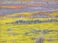 Poppy Reserve2008 049.jpg