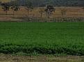 Carrot crop at Aratula July 2010 001