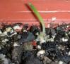 Ornithogalum unifoliatum