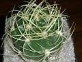 Gymnocalycium monvillei ssp. monvillei ( Gymnocalycium multiflorum )