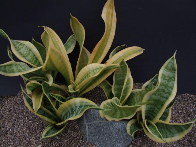 Sansevieria Trifasciata Twisted Sister Cg085 1