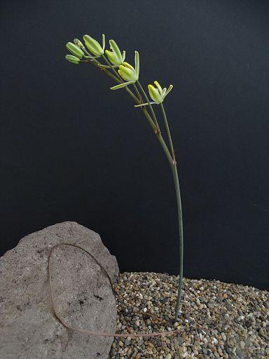 Albuca unifoliatus