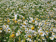 Kamillenmeer