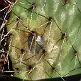 sick Opuntia (big)