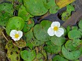 Floating Heart (Nymphoides aquatica)